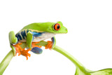 frog on stem isolated poster