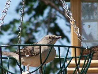 mockingbird in a basket