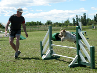 fox terrier en agility