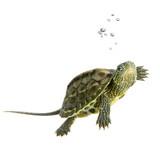 Fototapety tortue - ocadia sinensis
