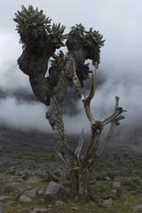 senecio kilimanjari trees with fog.