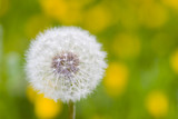 Fototapeta dandelion in a meadow