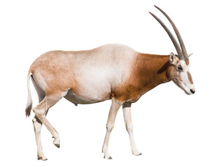 scimitar horned oryx (damma) isolated over white b