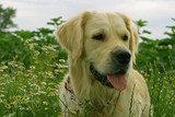 golden retriever in the field poster