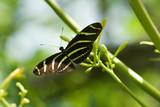 zebra butterfly - 3335011