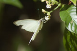 great southern white butterfly - 3335207