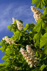 blooming spring chestnut against the blue sky