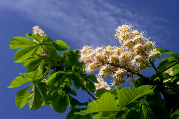 blooming spring chestnut against the background of