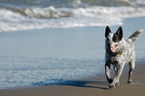 australian cattle dog running by the bay poster