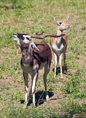 a couple of indian black buck antelopes over green