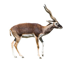indian black buck antelope standing isolated over