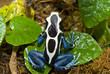 grenouille noir et bleu