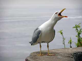 albatros screaming