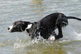 great dane running in water poster