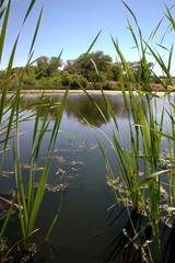 riparian pond reflection