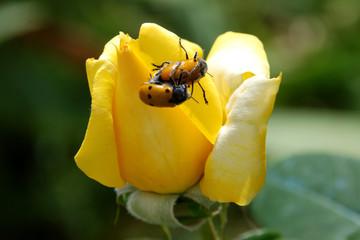 coccinella nella rosa