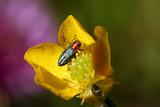 nice glossy beatle on yellow flower - macro shot poster