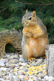 cute squirrel standing and begging poster