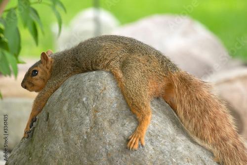 Foto op Aluminium Eekhoorn lazy squirrel