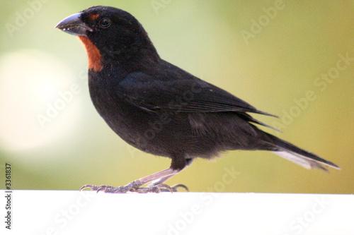 oiseau noir et rouge