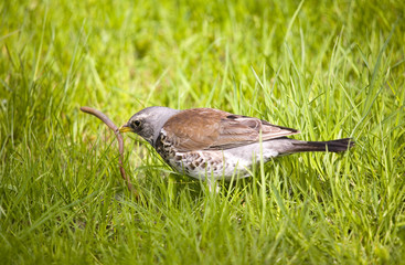 fieldfare with prey
