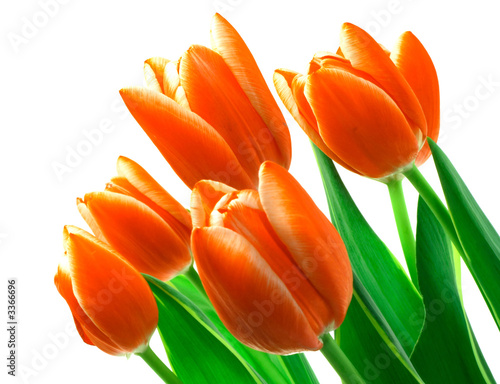 Beautiful tulips on a white background.