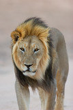 black-maned african lion poster