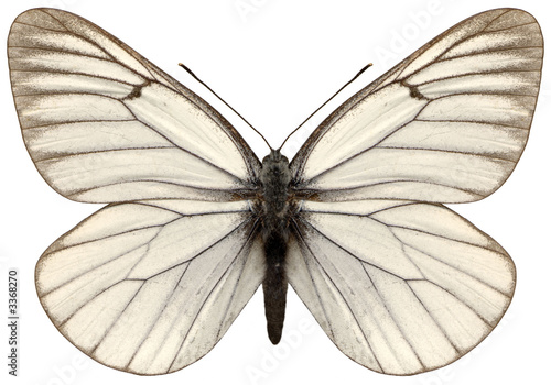 Foto op Aluminium Vlinder white magnificent butterfly aporia