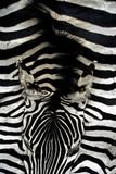 zebra skin with head poster