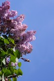 blossoming lilac and blue sky poster
