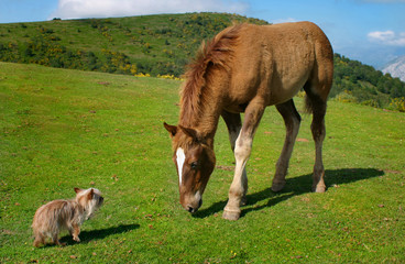 yorkie vs caballo