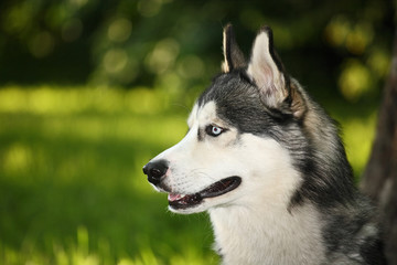 husky dog with multicolored eyes in the summer for