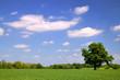 oak in wheat field
