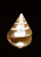 tectus pyramis seashell
