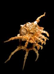 lambis scorpius linnaeus / scorpion spider 0714