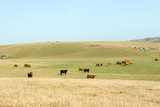 cows grazing poster