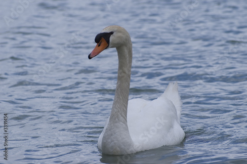 In de dag Zwaan cygne sur le lac d'annecy