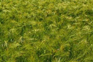 green agricultural field, cerial