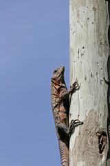iguana on a pole