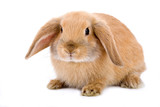 Fototapety brown-white bunny, isolated on white