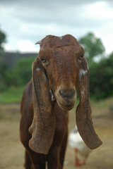 long eared goat