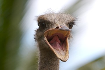 crying ostrich