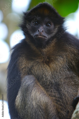 Poster spider monkey