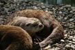 kanadischer otter