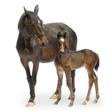 mare with her foal (12 days) poster