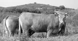 gado bovino pastando no campo poster