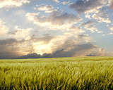 barley field during stormy day poster