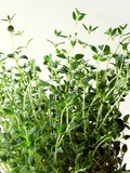 thyme herb as a spice poster
