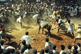 bull fight 4