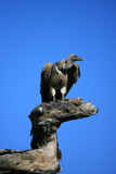 vulture on tree stump in serengeti tanzania